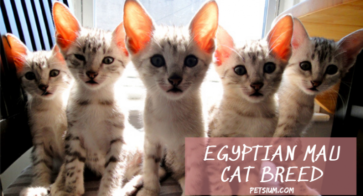 Egyptian Mau Cat Information