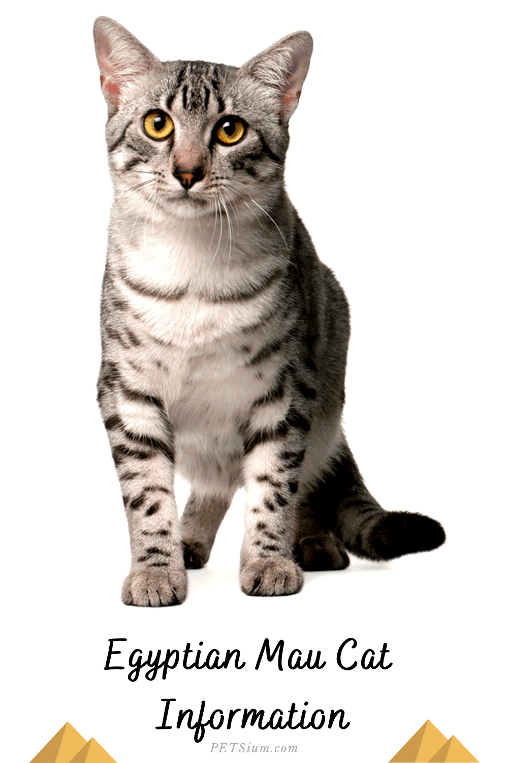 Egyptian Maus Cat Breed