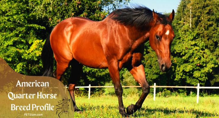 American Quarter Horses Information