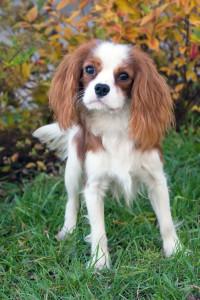 King-Charles-Cavalier-Dog
