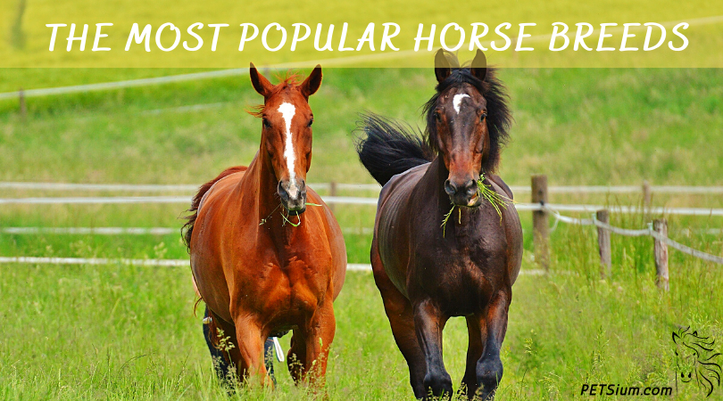 Most Popular Horse Breeds