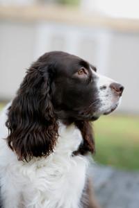 Springer-Spaniel-Dog