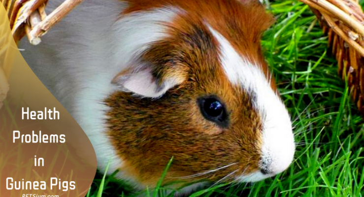 Health Problems in Guinea Pigs