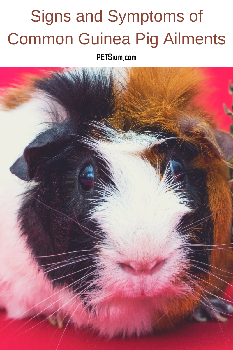 Signs and Symptoms of Common Guinea Pig Ailments