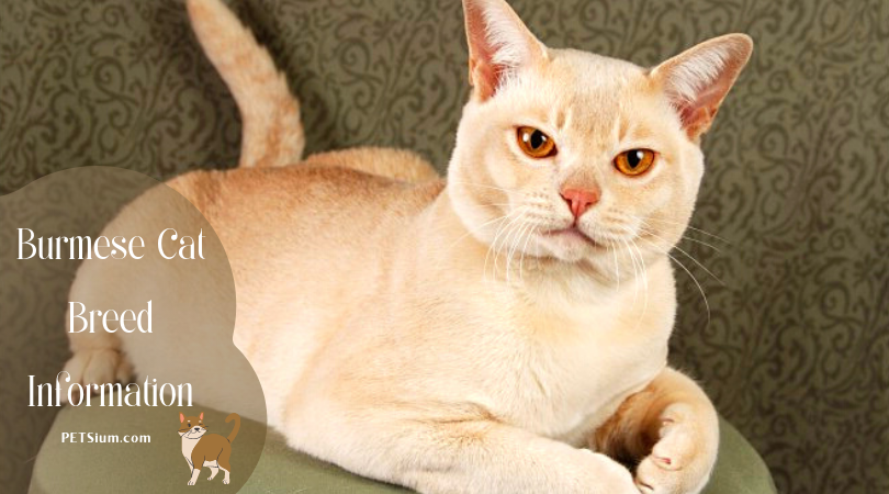 Information on Burmese Cats