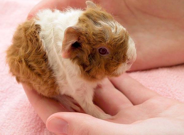 male guinea pig names