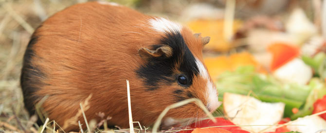 Can Guinea Pigs Have Grapes