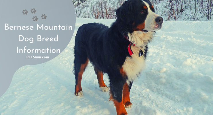 Bernese Mountain Dog Breed Information