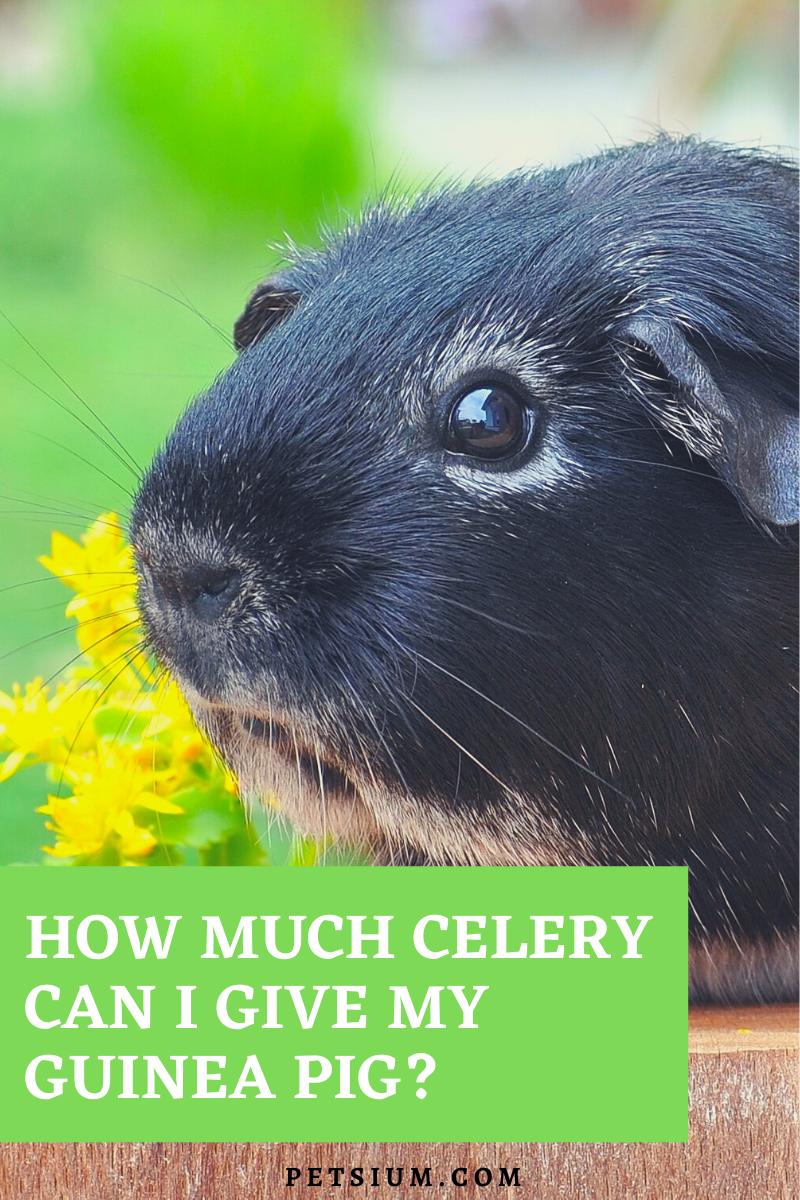 Can Guinea Pigs Eat Celery - Is Celery Safe For Guinea Pigs