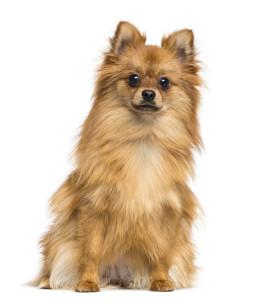 German Spitz Miniature Dog